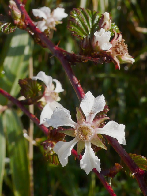 ニガイチゴ 花