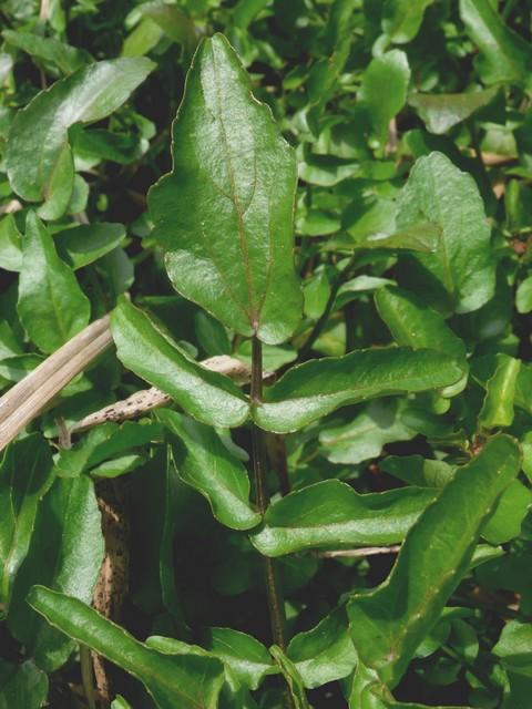 オランダガラシの葉(参考用)