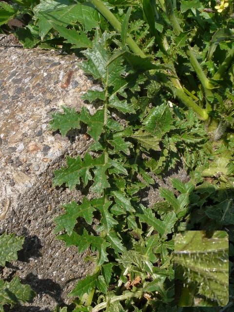 ハリゲナタネ 葉
