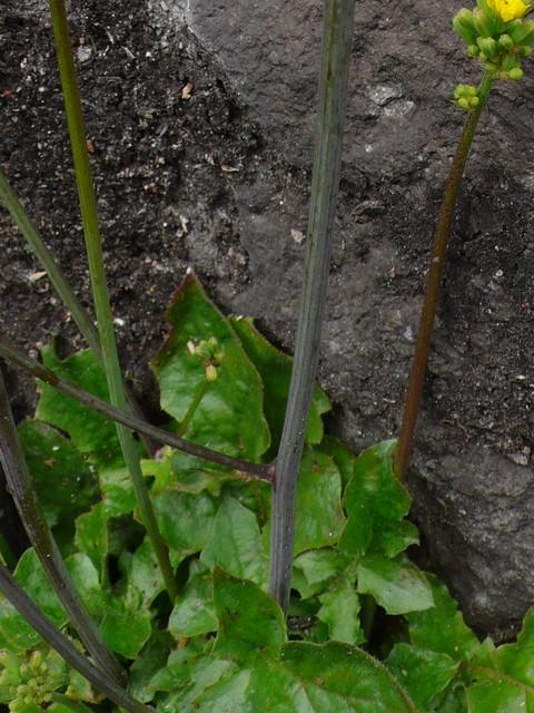 オニタビラコ 無毛軟質太い茎