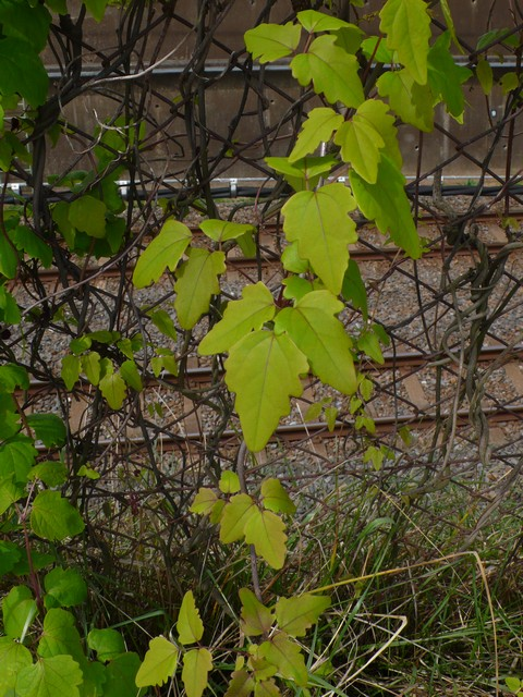 ミツバアケビ 葉