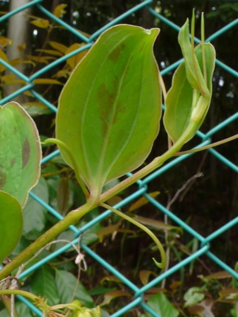 サルトリイバラ 葉