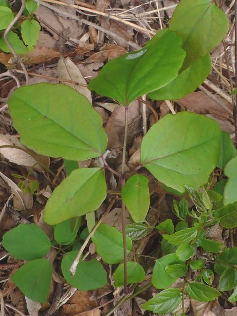 ゴヨウアケビ 鳥足状複葉化した葉