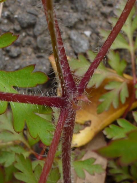 ヒメフウロ 茎