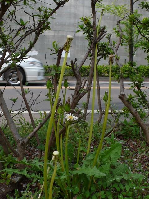 シロバナタンポポ よく伸びた花茎