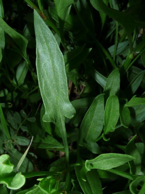 ヒメスイバ 葉