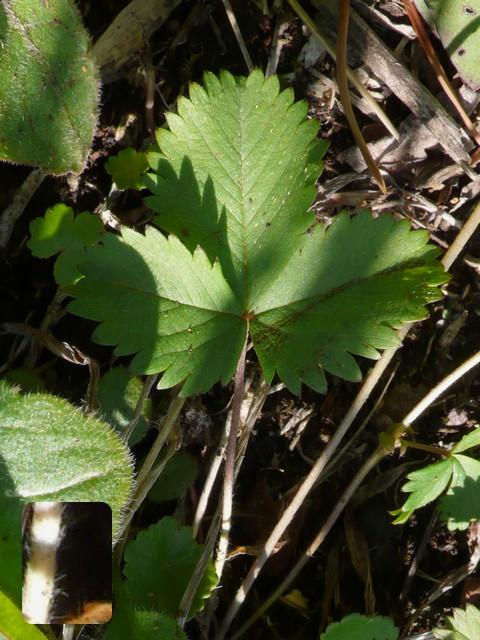 ミツバツチグリ 葉