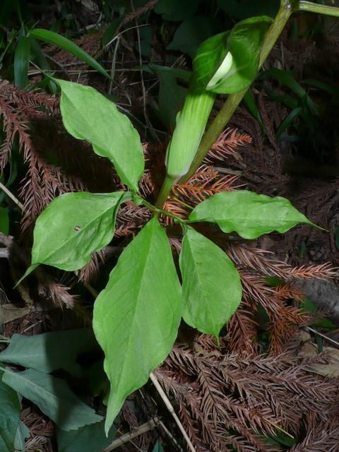 マムシグサ(カントウマムシグサ) 葉