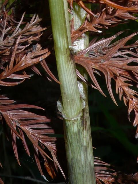 マムシグサ(カントウマムシグサ) 茎