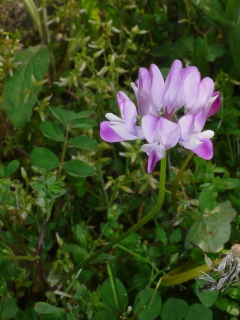 ゲンゲ 花