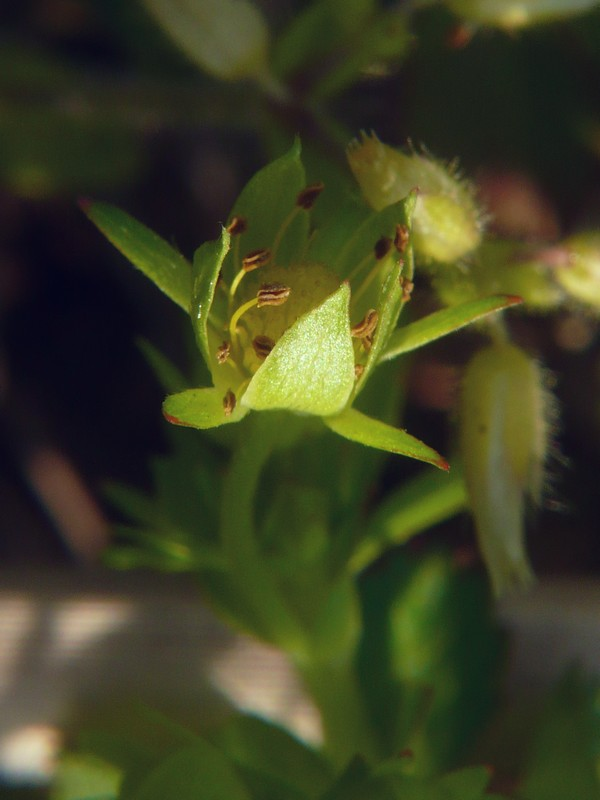 オヘビイチゴ 萼