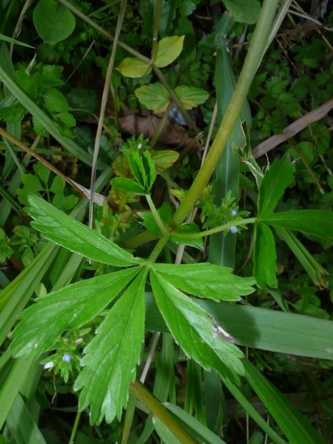 オヘビイチゴ 葉