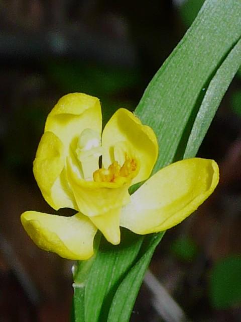 キンラン 花の距
