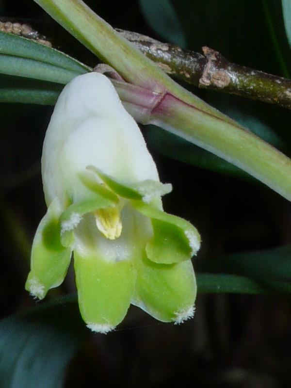 アマドコロ 花