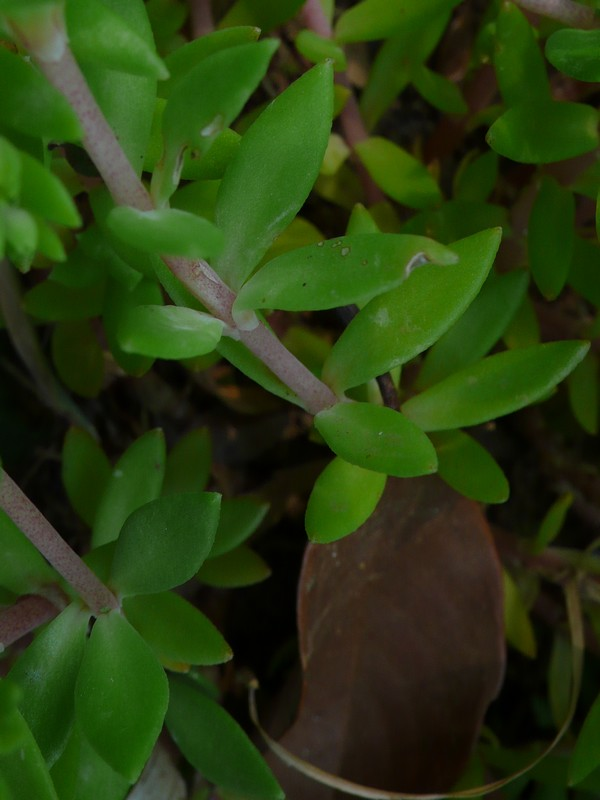 ツルマンネングサ 葉