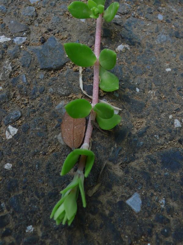 ツルマンネングサ 葉・茎