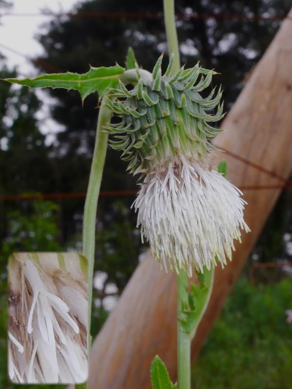 シロバナタカアザミ 花