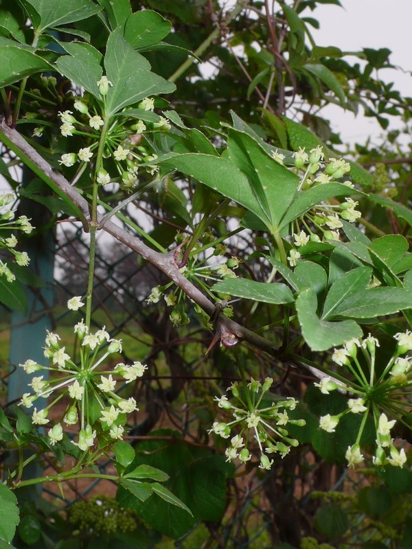 ヤマウコギ 雌花花序