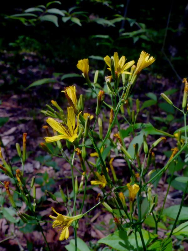 ニガナ 花