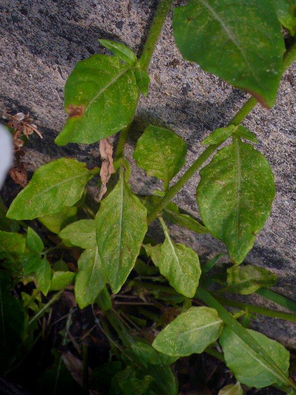 アカバナユウゲショウ (白品) 葉