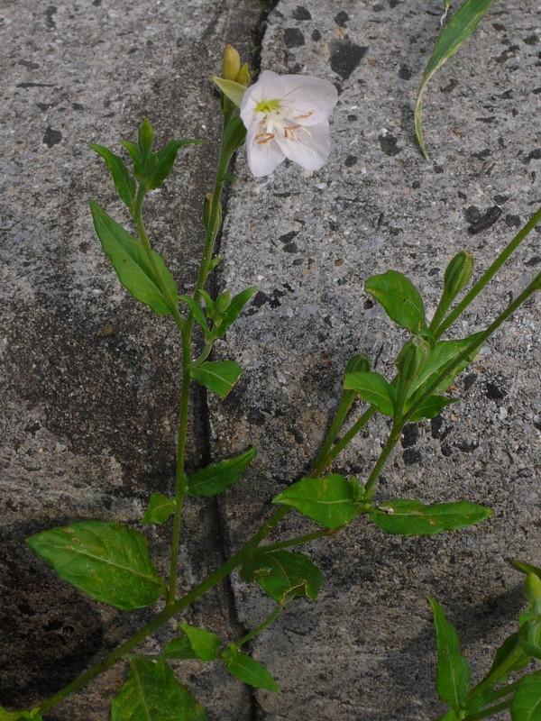 アカバナユウゲショウ (白品) 花序
