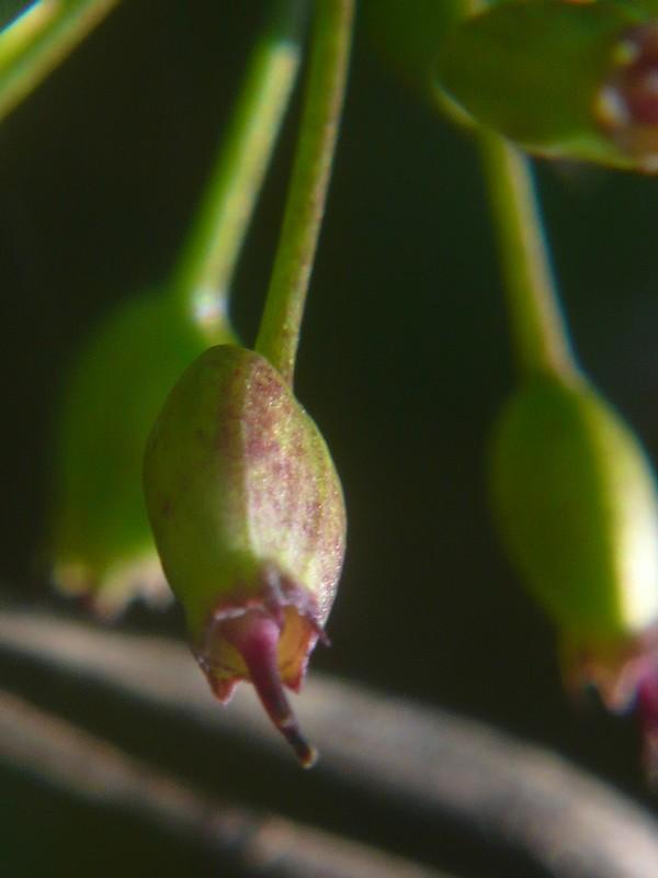 ヤマウコギ 果実