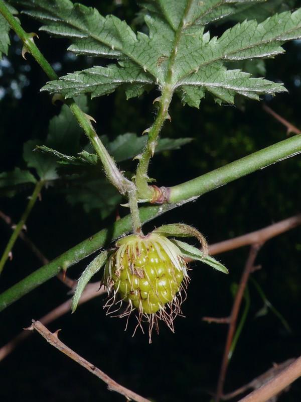 モミジイチゴ 果実