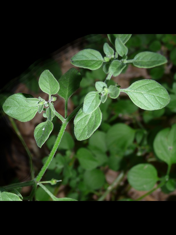 ハコベホオズキ 葉・茎