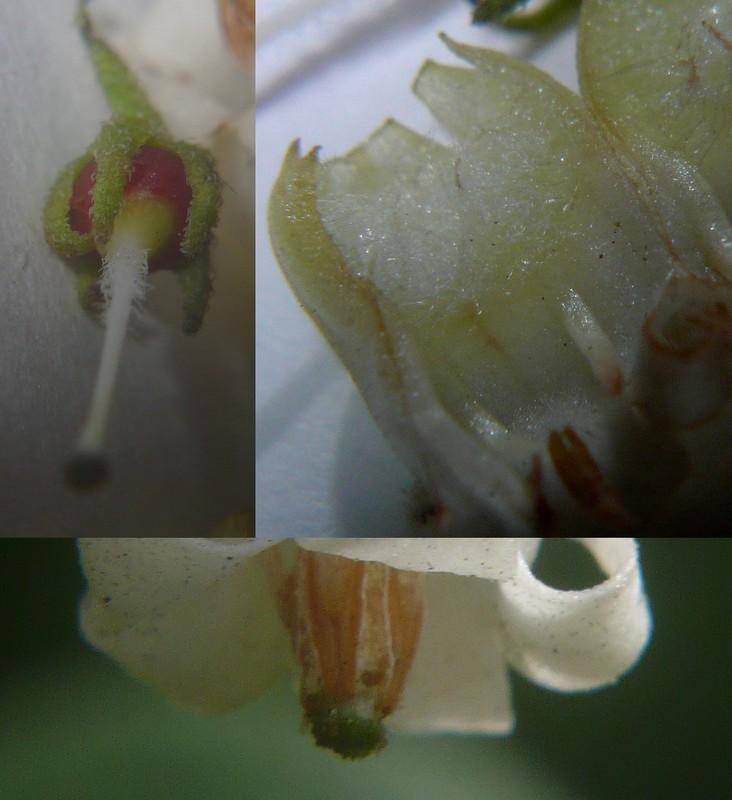 ハコベホオズキ 花