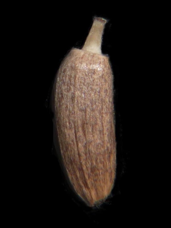 シロバナタカアザミ 痩果