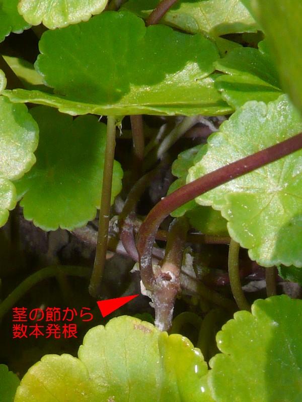 オオチドメ 茎と葉柄、発根