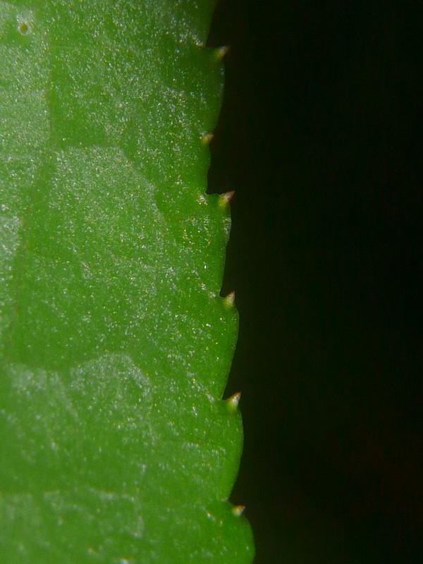フタリシズカ 葉の縁