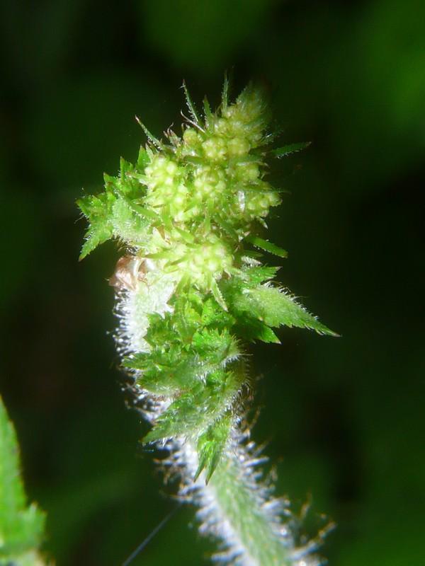 チダケサシ 若い花茎