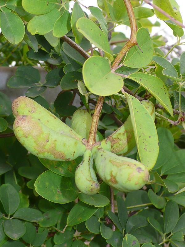 アケビ 若い果実