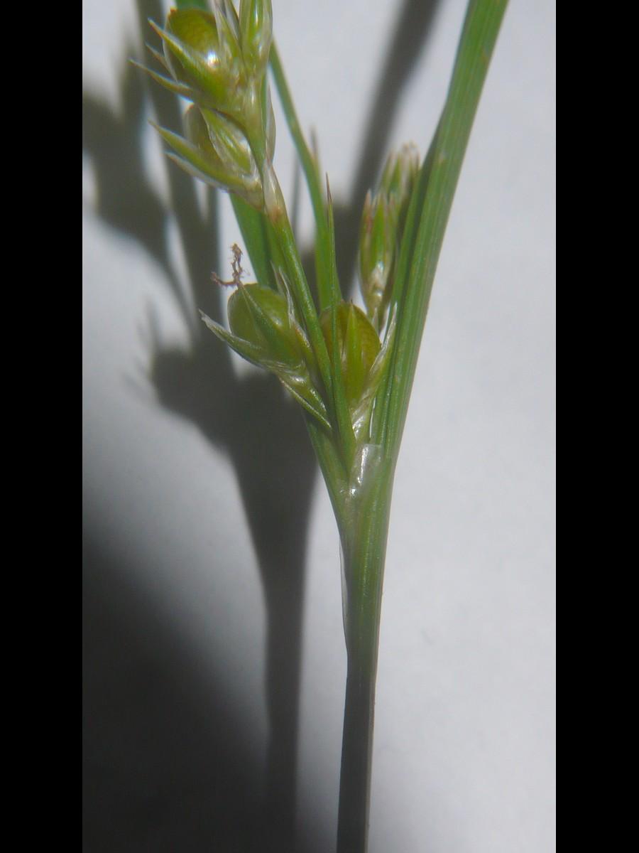 クサイ 花序