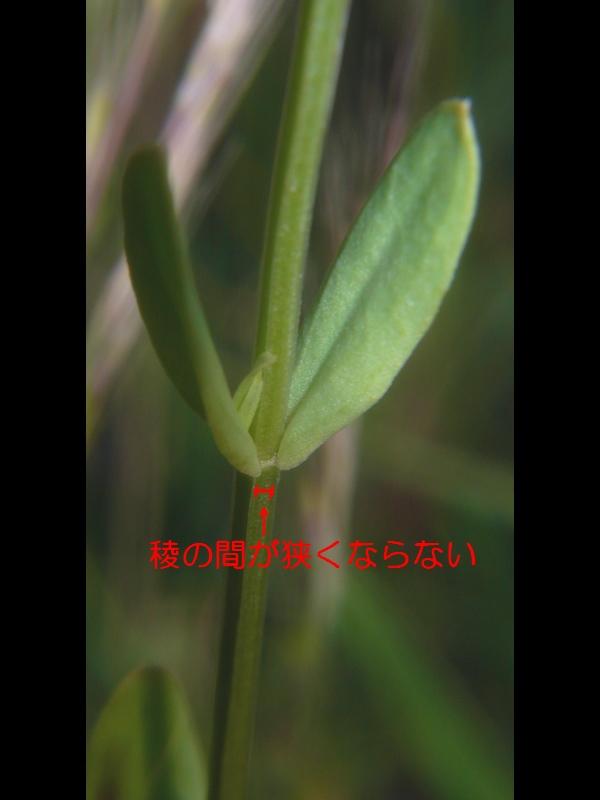 ハナハマセンブリ 葉と茎