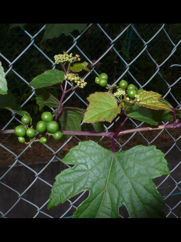 ノブドウ 若い果実
