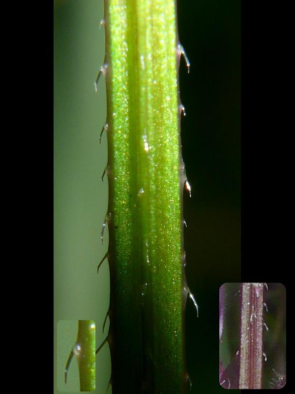 イヌゴマ 茎