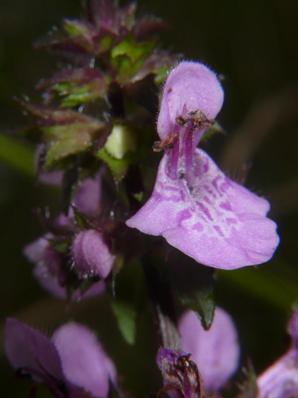 イヌゴマ 花