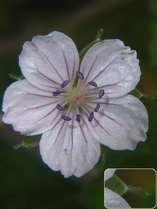 ゲンノショウコ 花