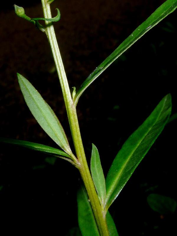 ヌマトラノオ 茎・葉
