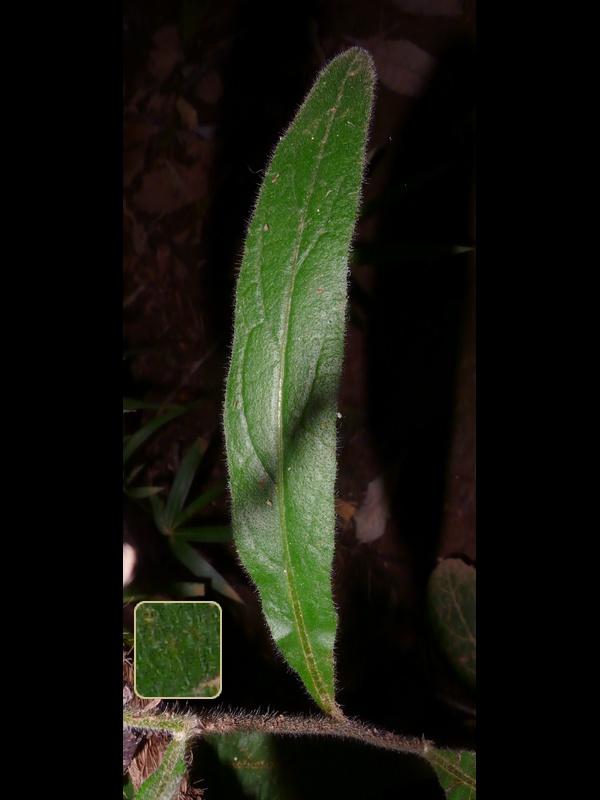 サジガンクビソウ 上部の葉
