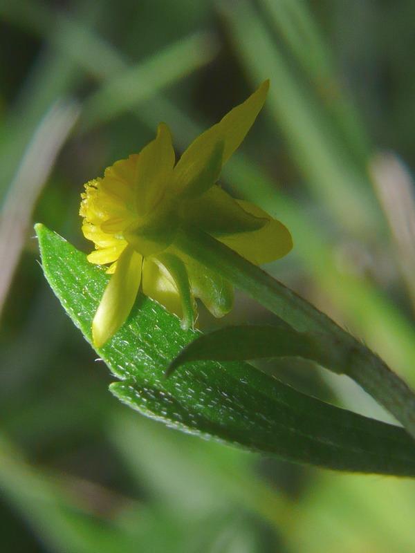 ヤマキツネノボタン 花・萼