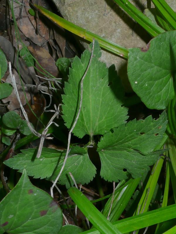 ヤマキツネノボタン 葉