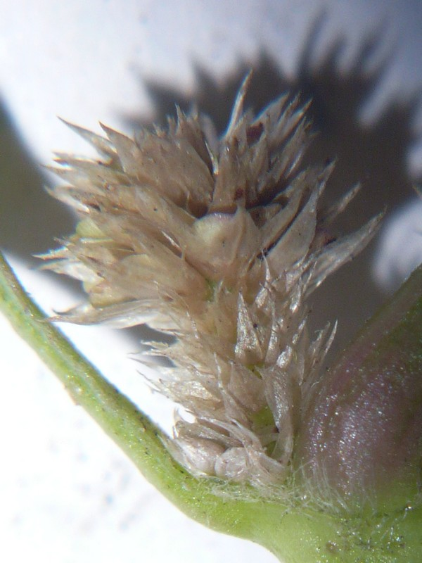 ホソバツルノゲイトウ 花序