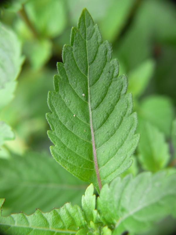 イヌトウバナ 葉