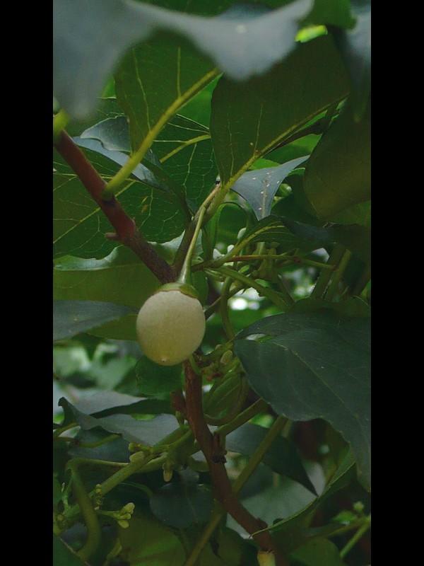 エゴノキ 果実