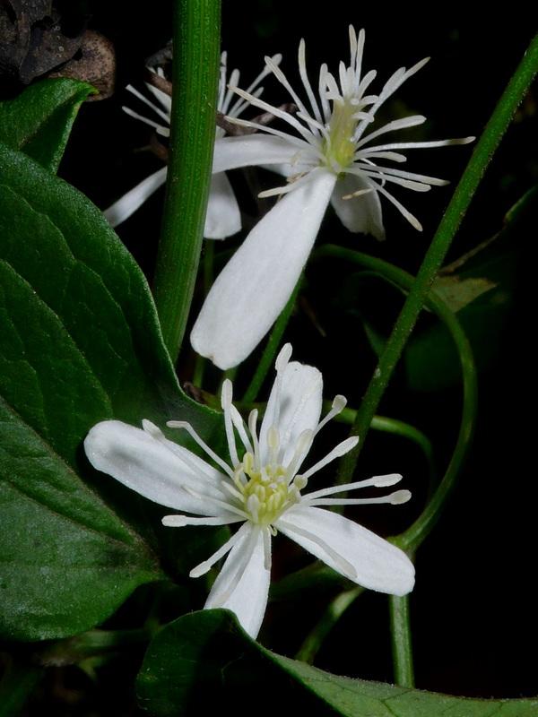 センニンソウ 花
