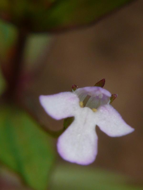 アゼナ 花