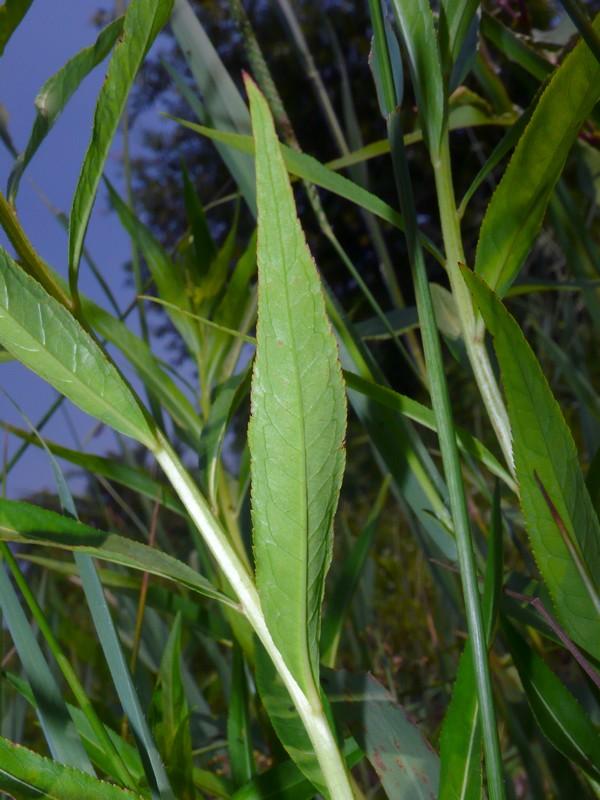 タコノアシ 葉
